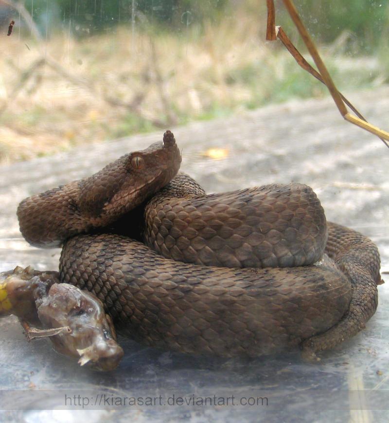 Sand viper by KIARAsART