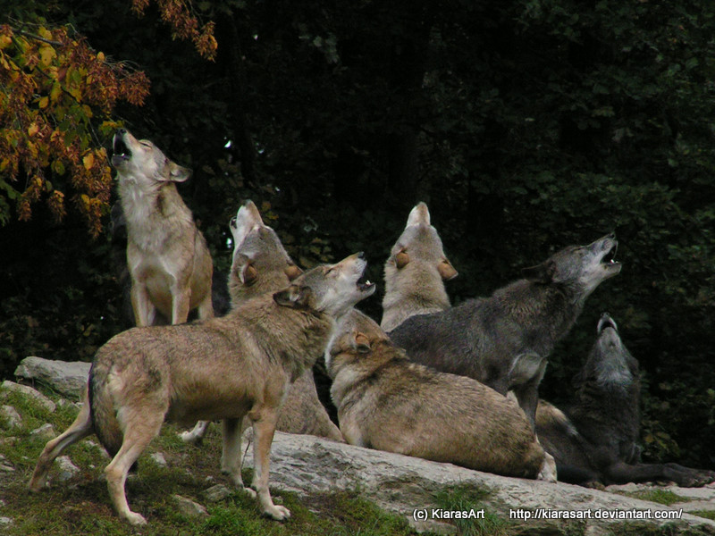 wolf pack howling by K...