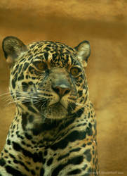 female jaguar face by KIARAsART