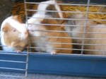 Guinea pigs in their cage