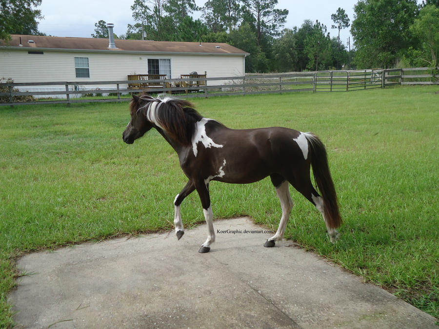 Black Tobiano Modern Shetland Filly 1 by KoerGraphic