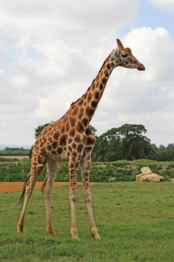 Giraffe 01 by LydiardWildlife
