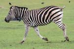 Zebra 03
