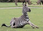 Zebra 05
