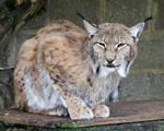 Lynx 01