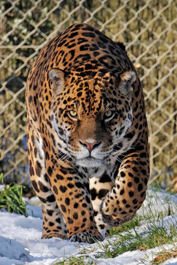 Jaguar 01 by LydiardWildlife