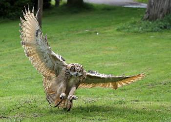 Owl 03 by LydiardWildlife