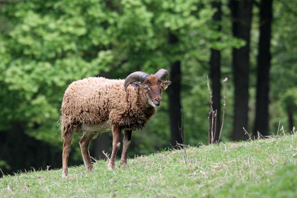 Sheep 01 by LydiardWildlife