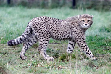Cheetah 03 by LydiardWildlife