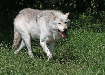 Wolf 01 by LydiardWildlife