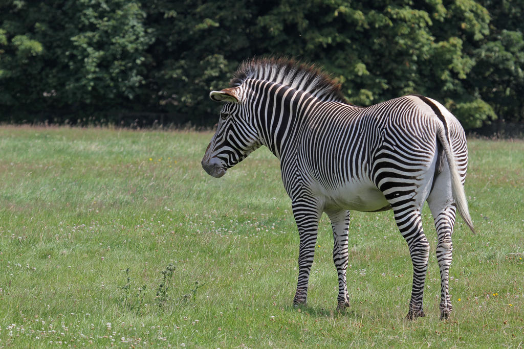 Zebra 06 by LydiardWildlife