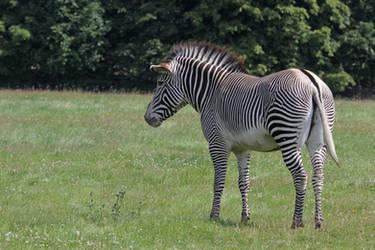 Zebra 06 by LydiardWildlife