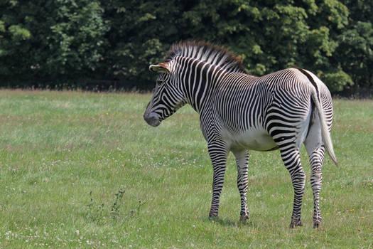 Zebra 06