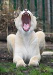 Lion 04