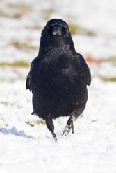 Crow 02 by LydiardWildlife