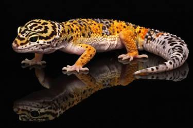Leopard Gecko 01 by LydiardWildlife