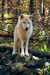 Arctic Wolf by iwolf1