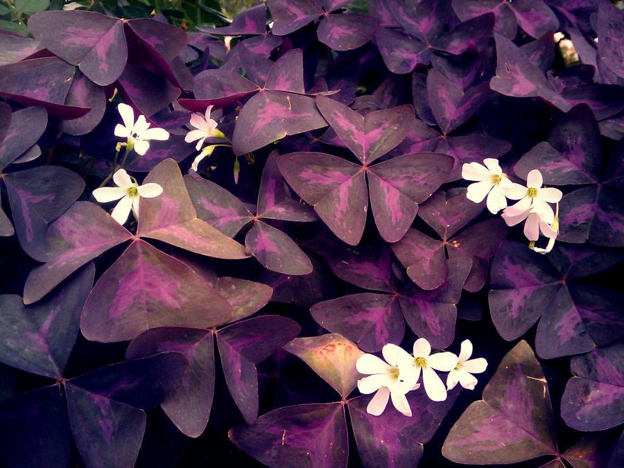 Purple Clover | quotes.lol-rofl.com