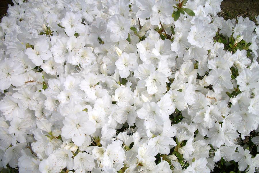 White azalea flowers by mephonix on deviantart white azalea flowers by mephonix mightylinksfo