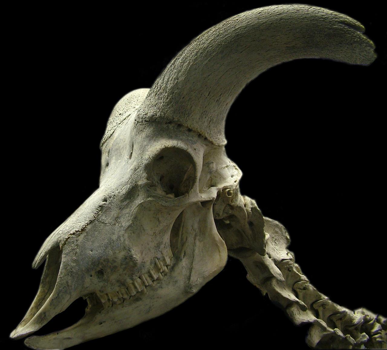 Mountain goat skull - photo#9