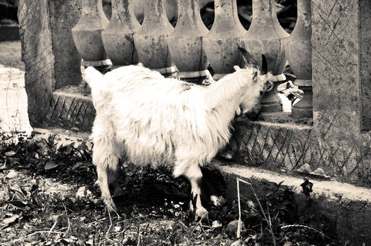 Urban Goat