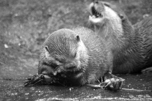 Feeding time - otters eating