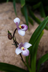 MOBOT: 2011 Orchid Exhibit VI by breaking-reality