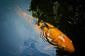 Koi Fish by daintyish