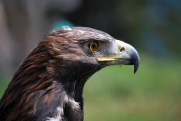 bird of prey by ReneHaan