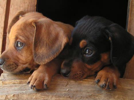 Little dogs by D.D.