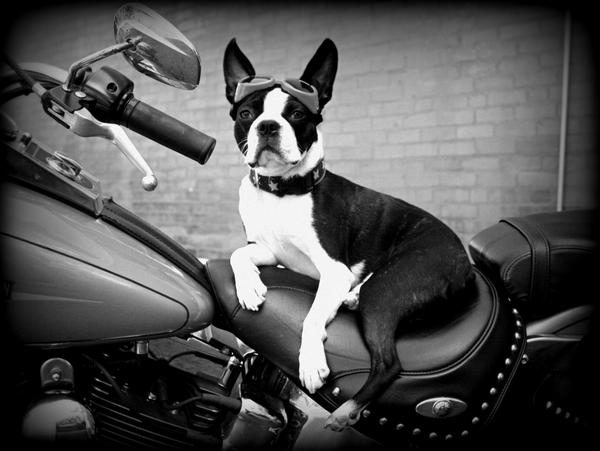 LE TERRIER DE BOSTON - Page 6 Bender_on_a_harley_by_cryrolfe-d32b7cr