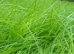 Cimenler green grass