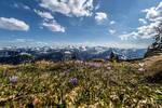 Crocusses on Edelsberg mountain