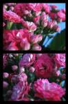 Kalanchoe blossfeldiana 4