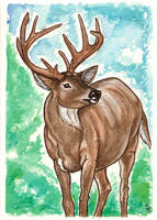 White tailed Deer Watercolor by SapphireIceAngel