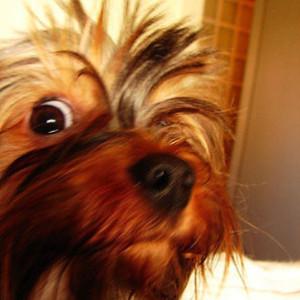 dog that looks like chewbacca - 550×733
