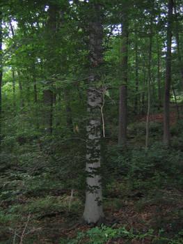 Tree Vine Stock 2