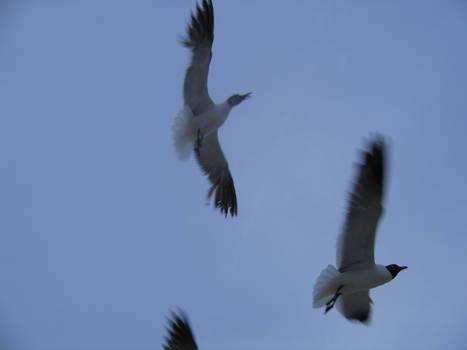 Seagull Stock 1