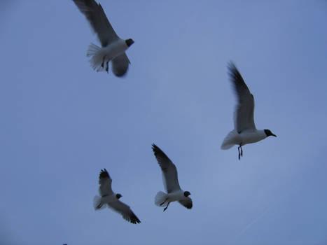 Seagull Stock 2