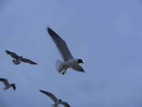 Seagull Stock 3