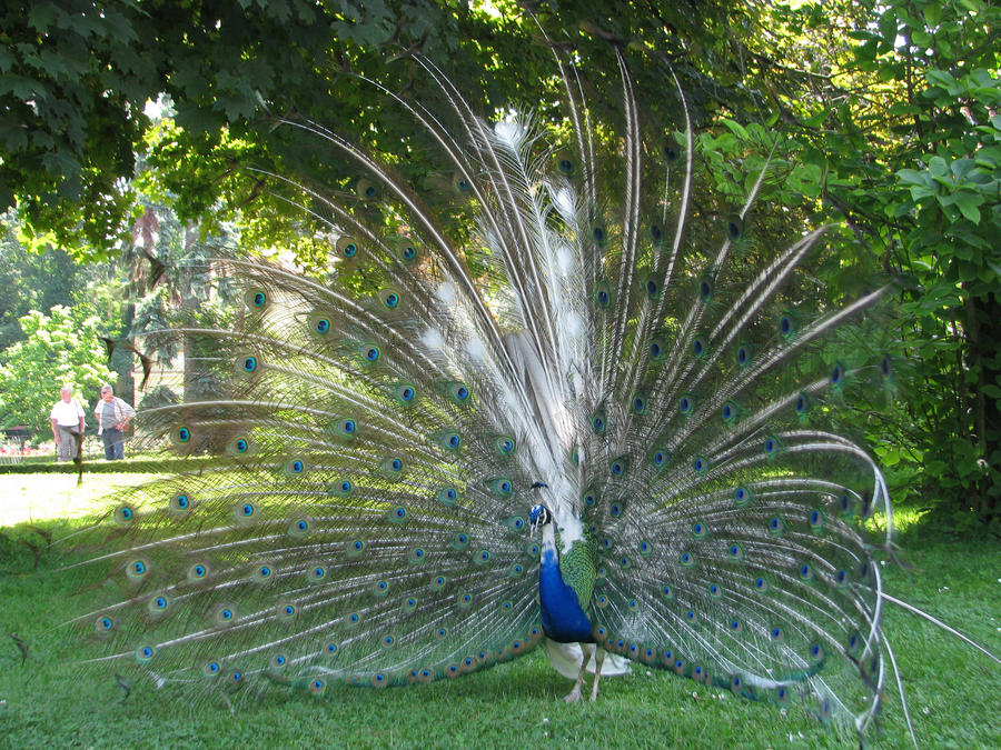 White Blue Peacock Wallpaper