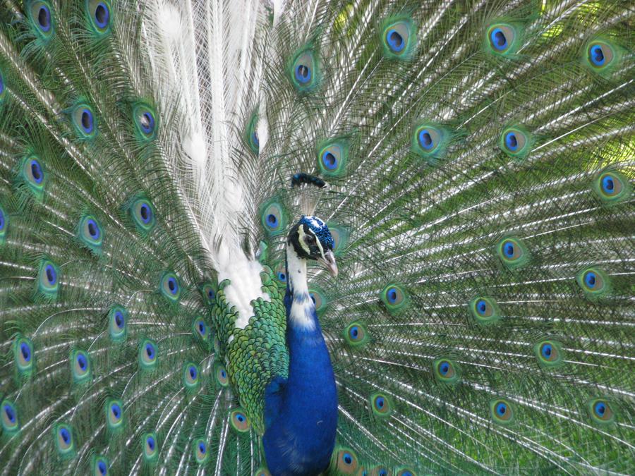 white blue peacock wallpaper - photo #7
