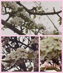 Cherry Blossoms by marylizabetha