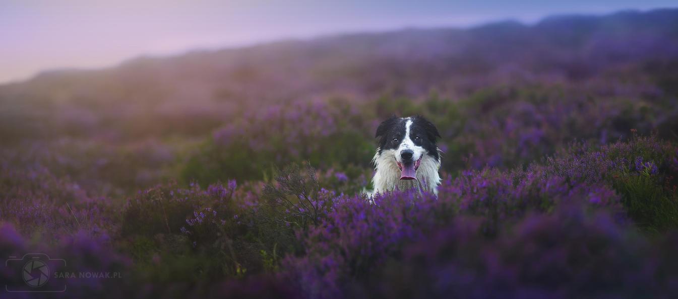 Heather field by Aenkill