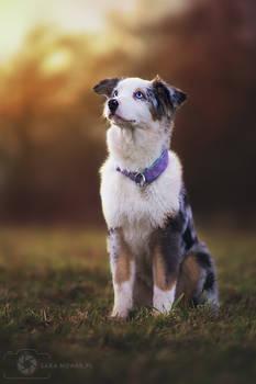 Daktyl the Australian Shepherd