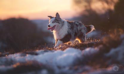 Daktyl the Australian Shepherd by Aenkill