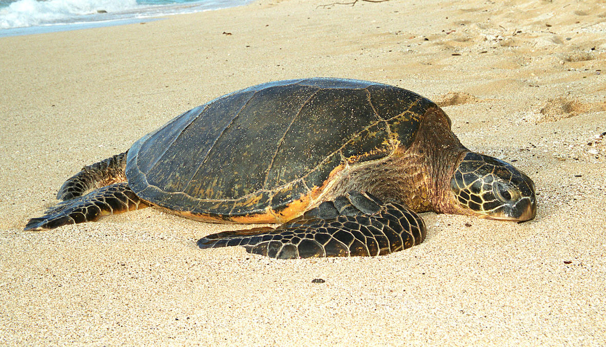 honu 1 by manaphoto-stock