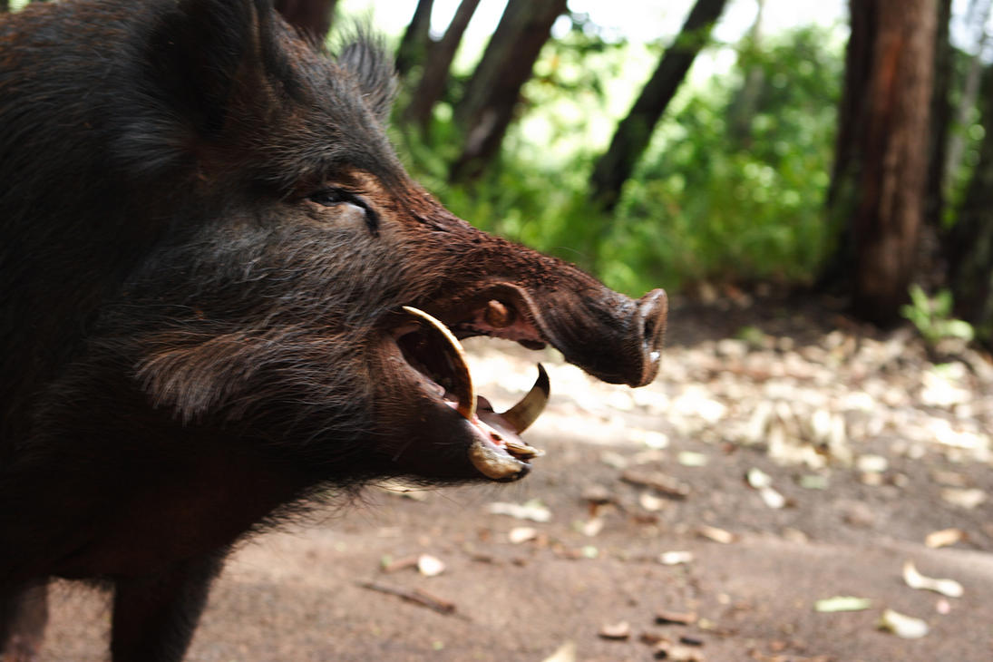 wild boar 1 by manaphoto-stock