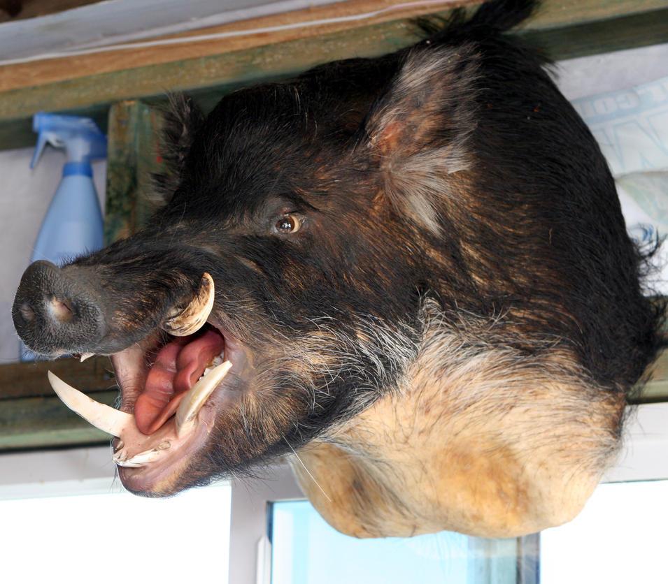 Wild Boar 2 by manaphoto-stock on DeviantArt