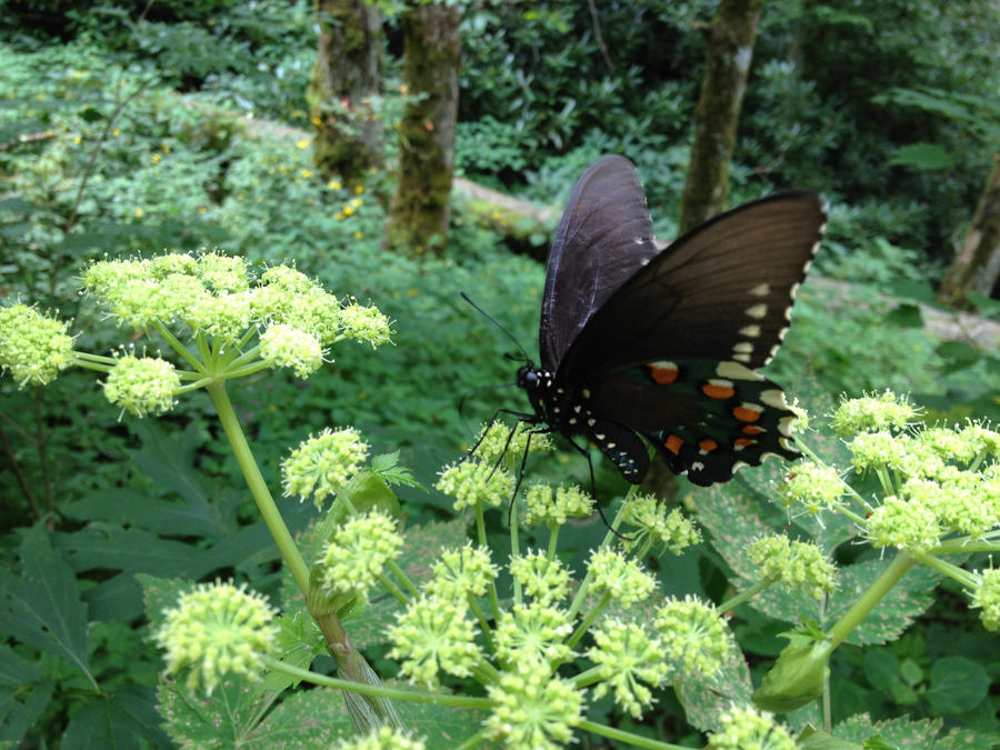 Pipevine Swallowtail by KarmaKhameleon
